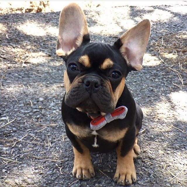 Hamlet Heyhamlet Is A 4 Month Old Frenchie From Sanfrancisco