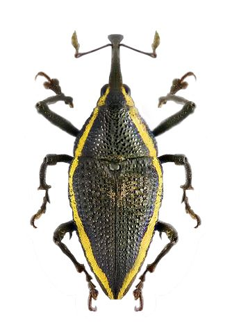 Lonchocerus rhomboidalis