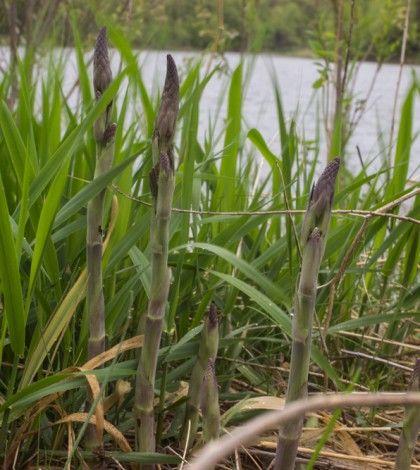 Wild Asparagus Asparagus Asparagus Plant Wild Plants