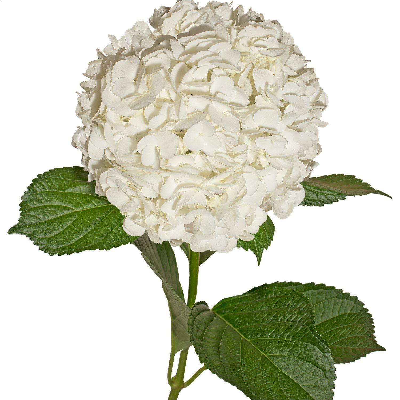 Premium Hydrangea, White (30 stems) Hydrangea bouquet