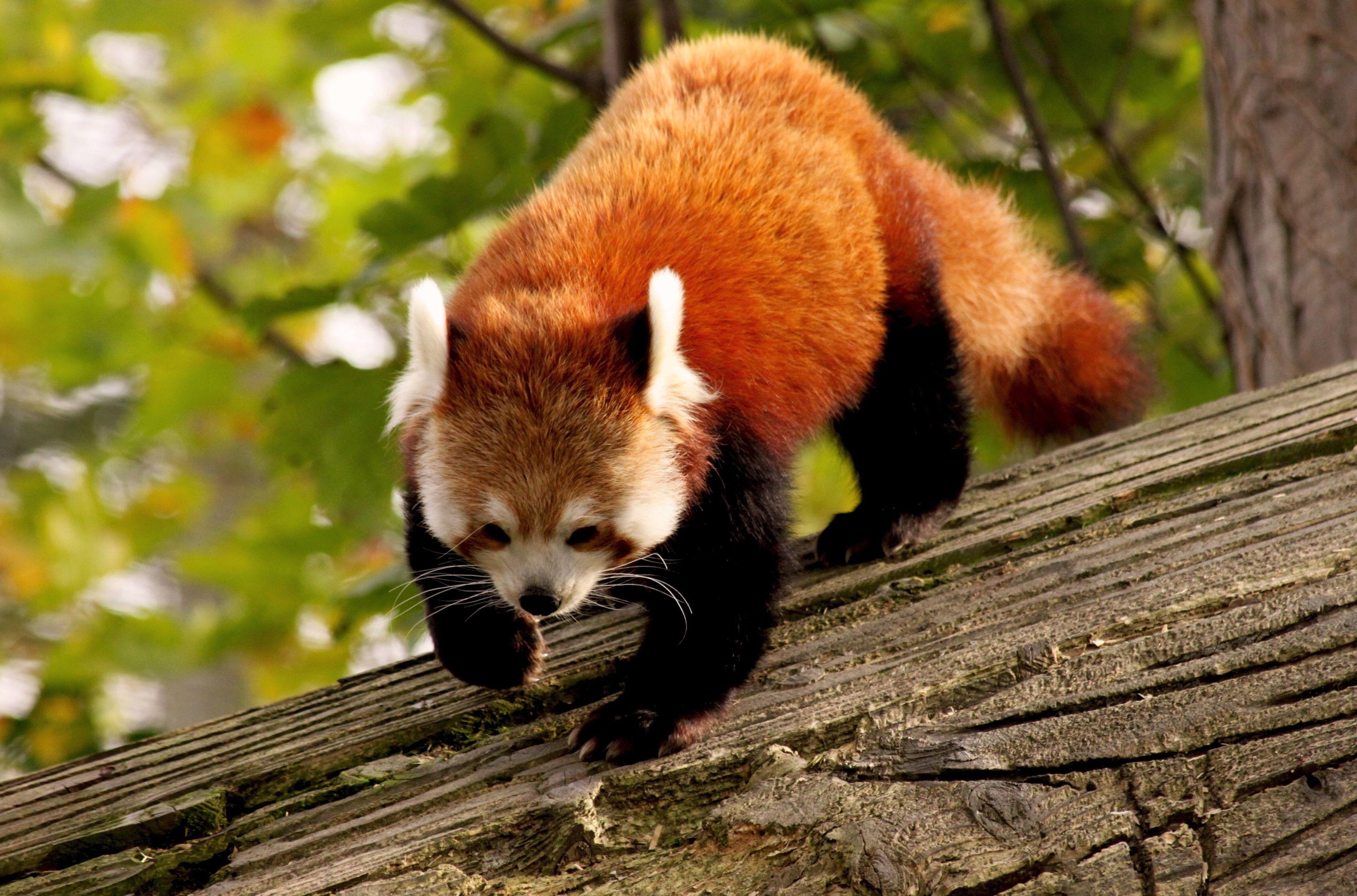 3840x2536 Red Panda 4k Latest Hd Widescreen Wallpaper Free Download Red Panda Panda Wallpapers Red Panda Baby