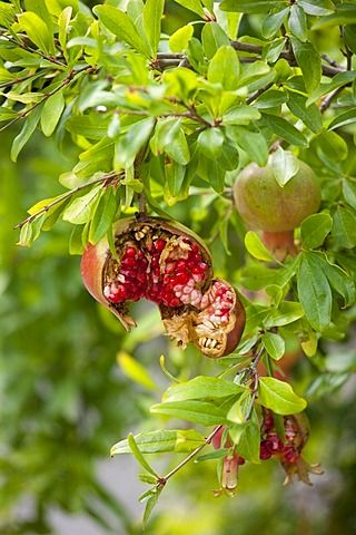 Easy Tips Diffe Ways To Grow Pomegranate From Seed Your Own Gardening Gardeningtips