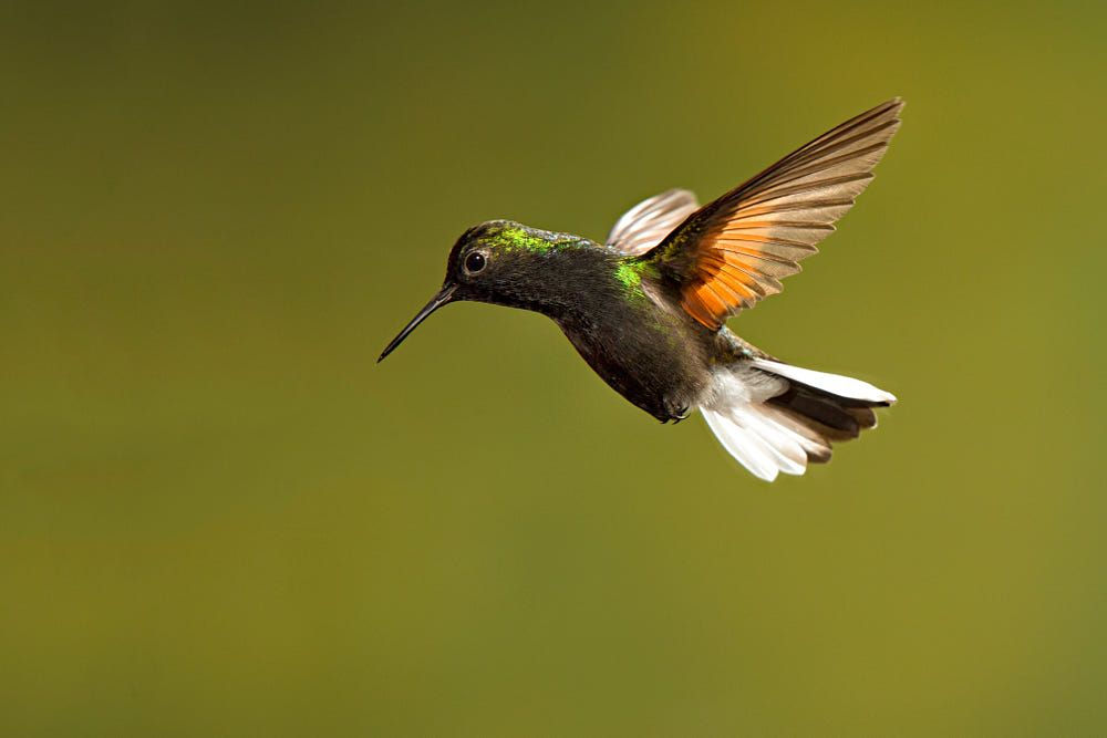 Black Bellied Hummingbird By Hali Sowle On 500px Hummingbird Beautiful Birds Spirit Animal
