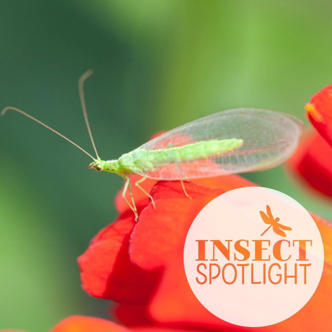 Adult Green Lacewings Are Small Soft Bodied Insects That Are