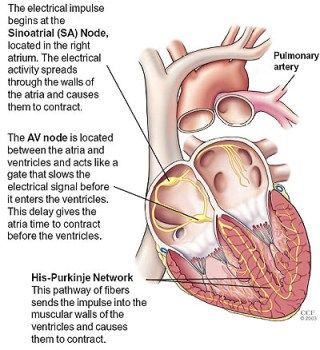 Diagram of heart the electrical impulse begins at the sinoatrial diagram of heart the electrical impulse begins at the sinoatrial sa node located in the right atrium the electrical activity spreads through the walls ccuart Images
