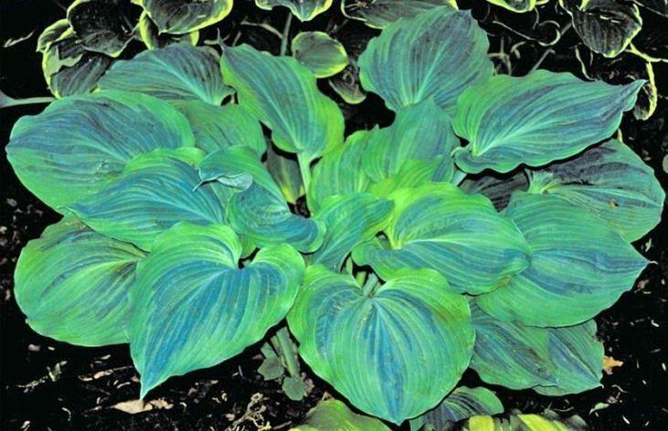 Hosta Dark Shadows Hosta Plants Hosta Gardens Shade Garden Plants