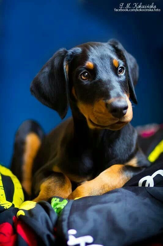 Pin By Michelle Gamble On Anything Dobermans Doberman Dogs Dogs