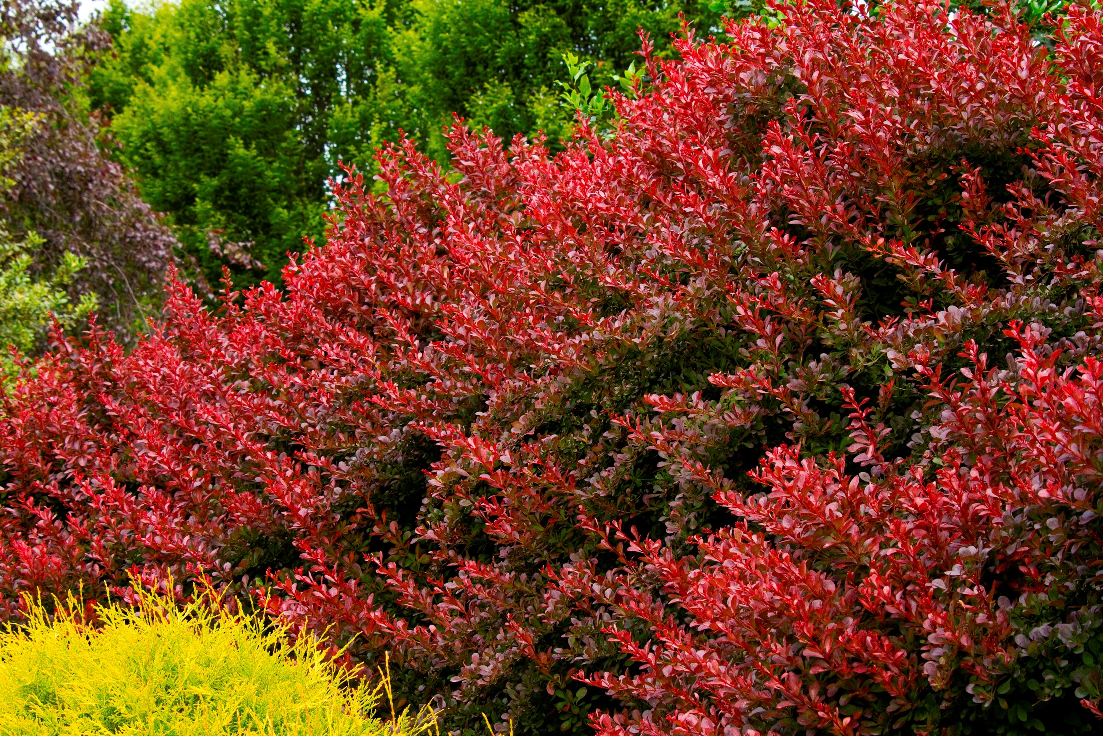 Cherry Bomb® Japanese Barberry carries deep crimson color all season ...