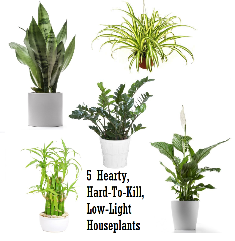 5 hardy hard to kill houseplants for apartments with low light low light houseplants low - Low light plants indoor ...