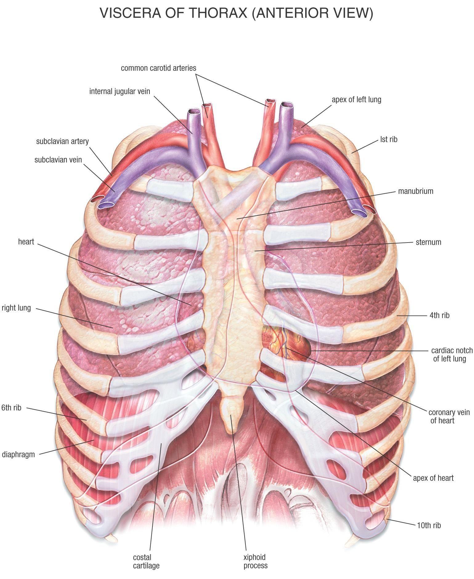 Human Anatomy Chest Cavity Anatomy Of Chest Bones Human
