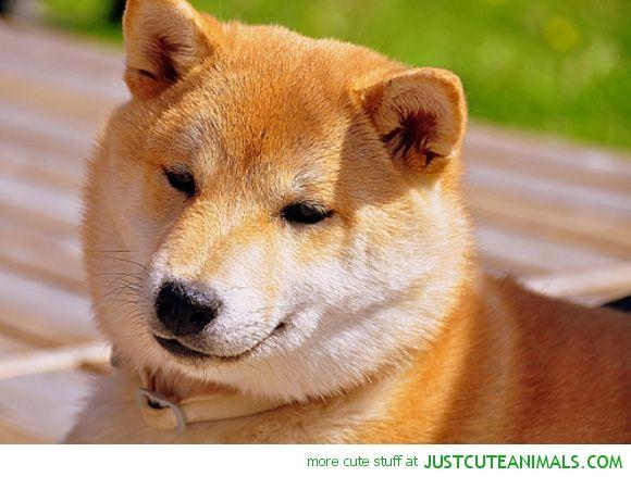 Cute Shiba Inu Cute Animals Puppy Dog Pictures