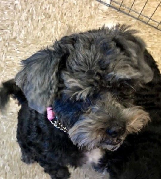Annie Shih Tzu Poodle Dog For Adoption In Euless Texas Dog