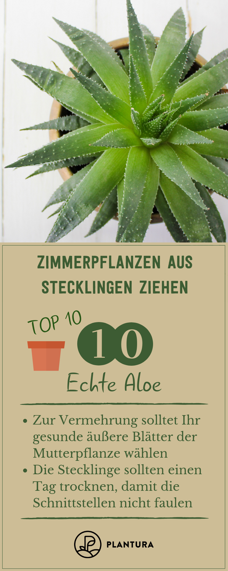Zimmerpflanzen Aus Stecklingen Ziehen Unsere Top 10 Aloe Vera Pflanze Pflanzen Und Stecklinge