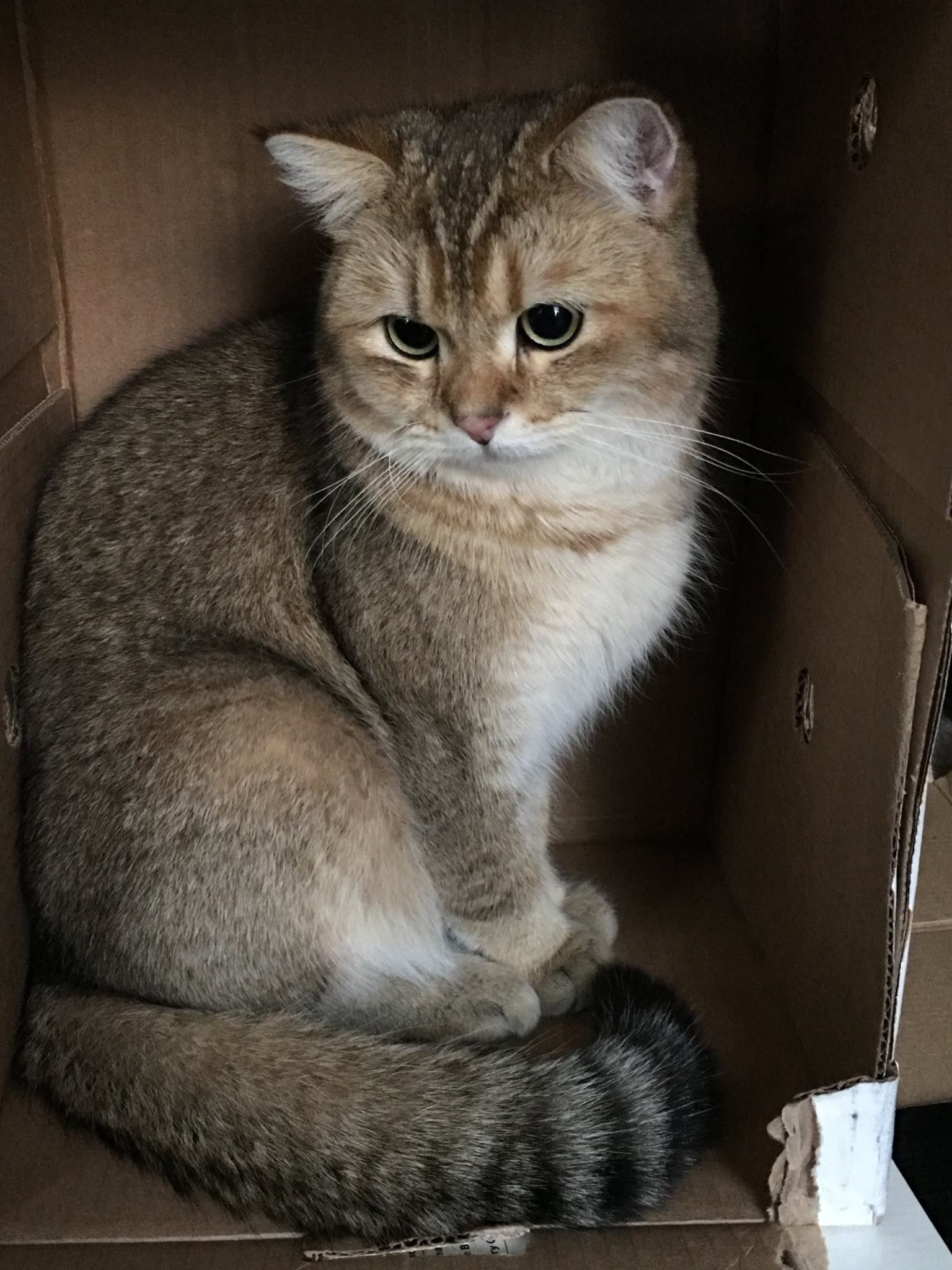 Golden Chinchilla cat: description of the breed, character, characteristics of care and maintenance 32