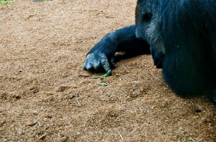 Un gorille remarque un minuscule lézard dans son enclos et tombe simplement sous son charme.