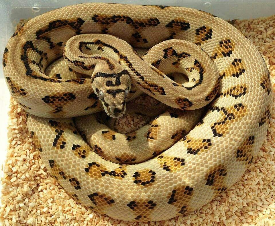 Caramel Jaguar Het Axanthic Carpet Python Pet Snake Snake Breeds Reptile Snakes