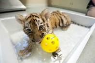 baby lions and tigers - Google Search