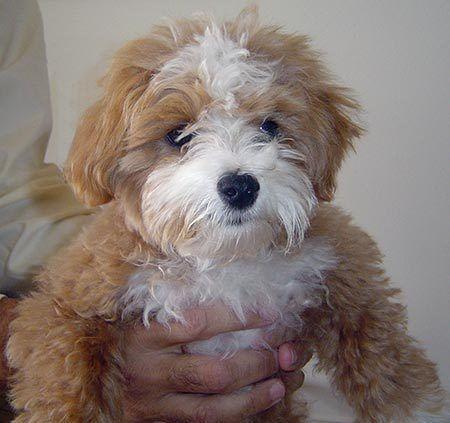 mini black maltipoo - Google Search | Miniature dogs