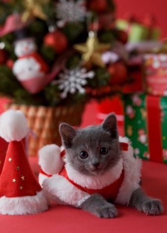 Photo of Christmas Cat for fans of Teddybear64. Christmas Cat - Photo Of Christmas Cat For Fans Of Teddybear64. Christmas Cat