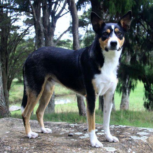 New Zealand Heading Dogs Dog Breeds Stud Dog Beautiful Dogs