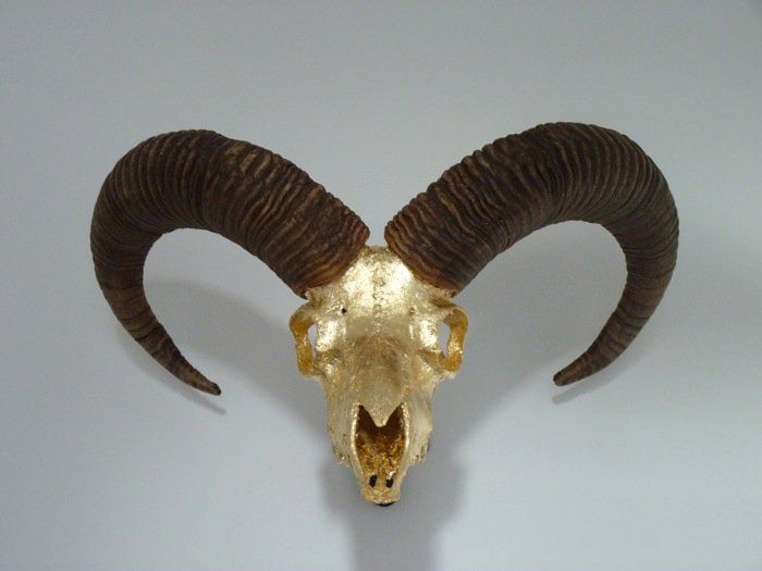 Rams skull covered in gold leaf for a glam look. Sits proudly above the fireplace