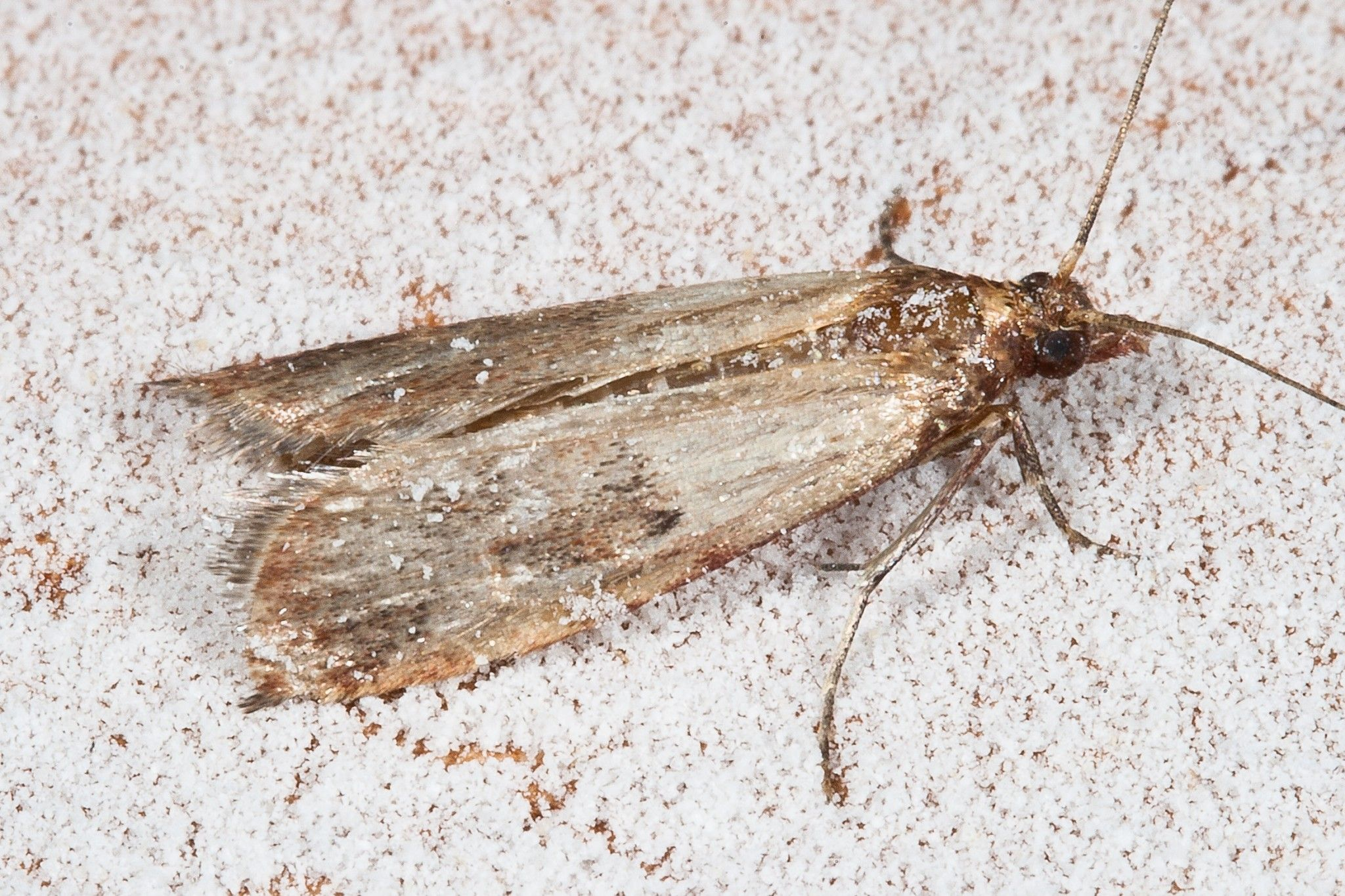 How To Get Rid Of Pantry Moths And Worms Pantry Moths Moth Getting Rid Of Moths