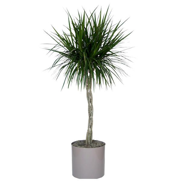 dracaena marginata moisture 7 amazing plant ideas pinterest houseplants and plants. Black Bedroom Furniture Sets. Home Design Ideas