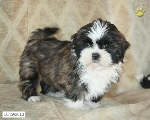 Shih Tzu Puppies For Sale Lancaster Puppies Shih Tzu Puppy Lancaster Puppies Puppies For Sale