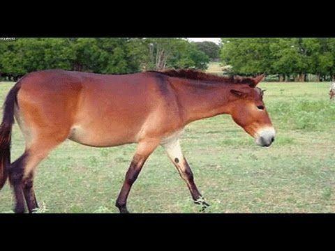 تفسير رؤية البغل فى المنام Horses Animals