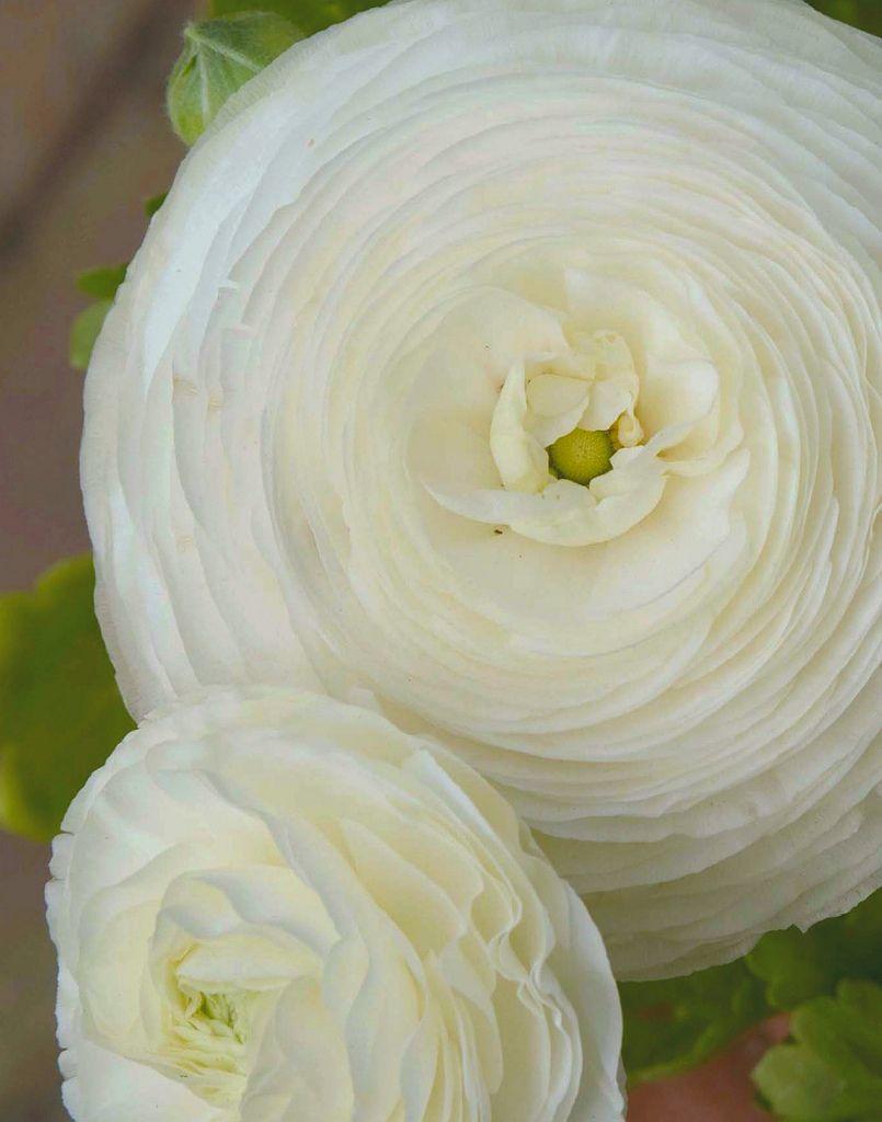 White Ranunculus White Gardens Pinterest Ranunculus Flower