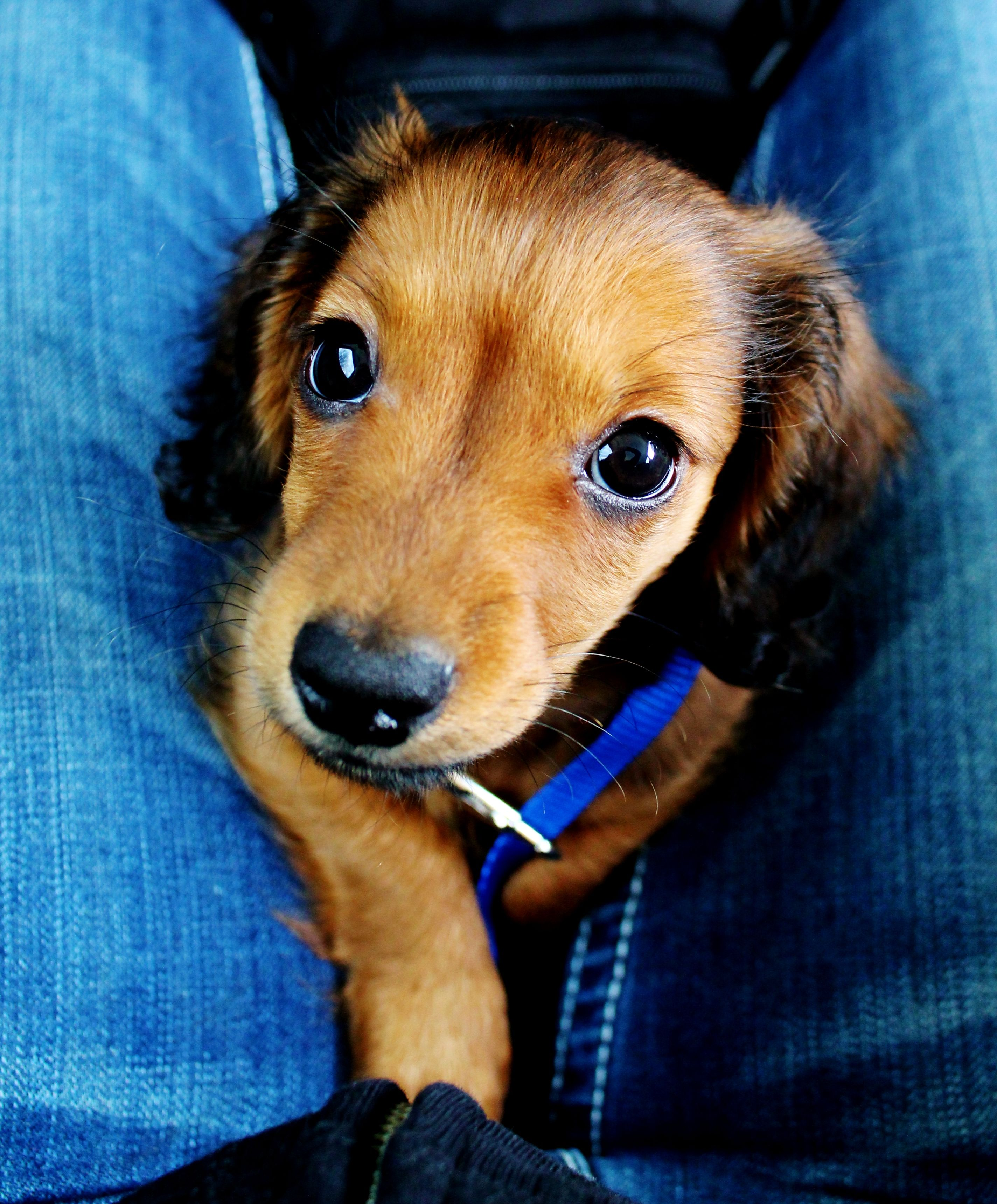 Teddy the doxie puppy