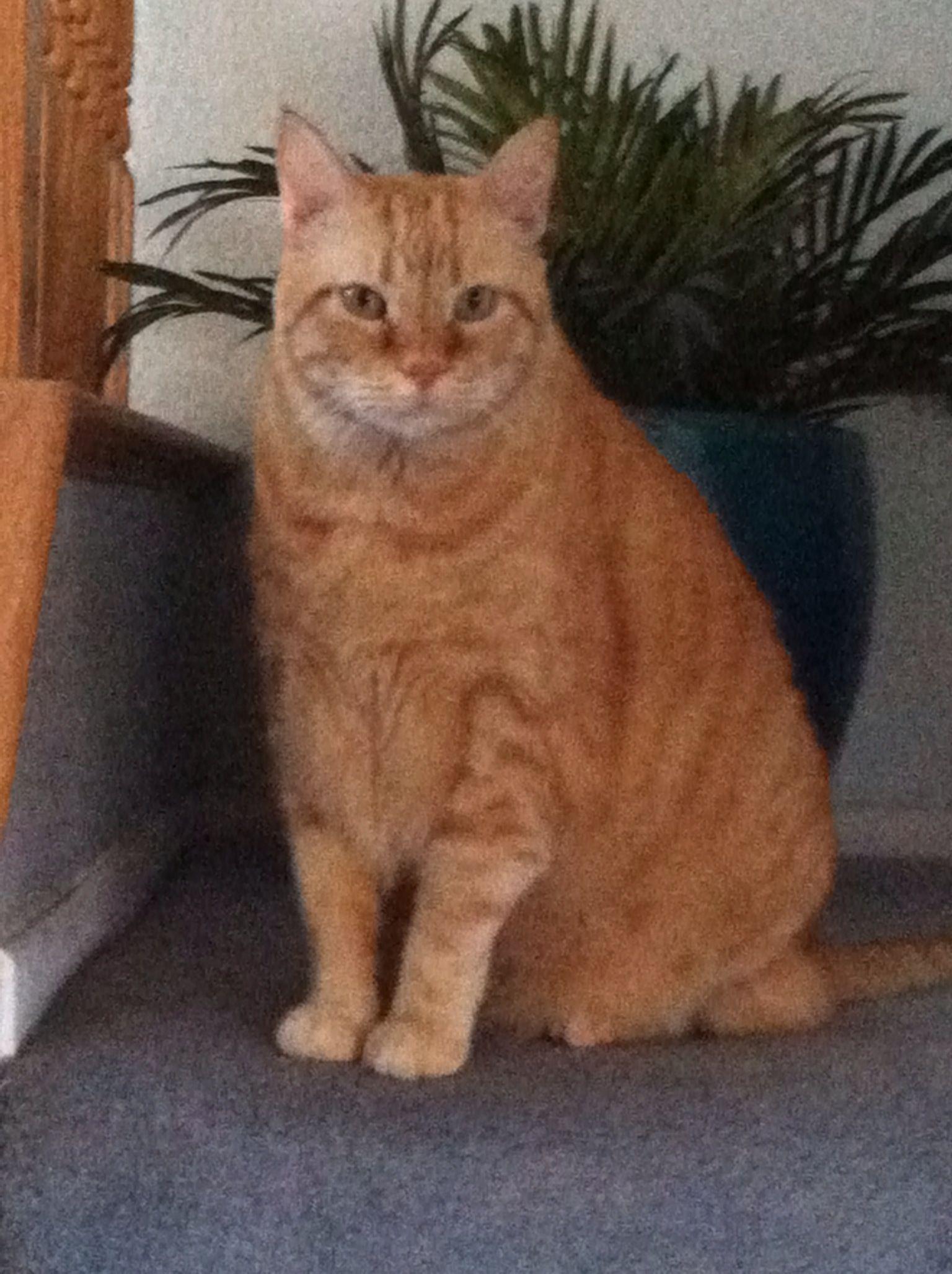 Garfield Cat Real : garfield, Tabby, Cat...., Garfield, Elvis), Cats,