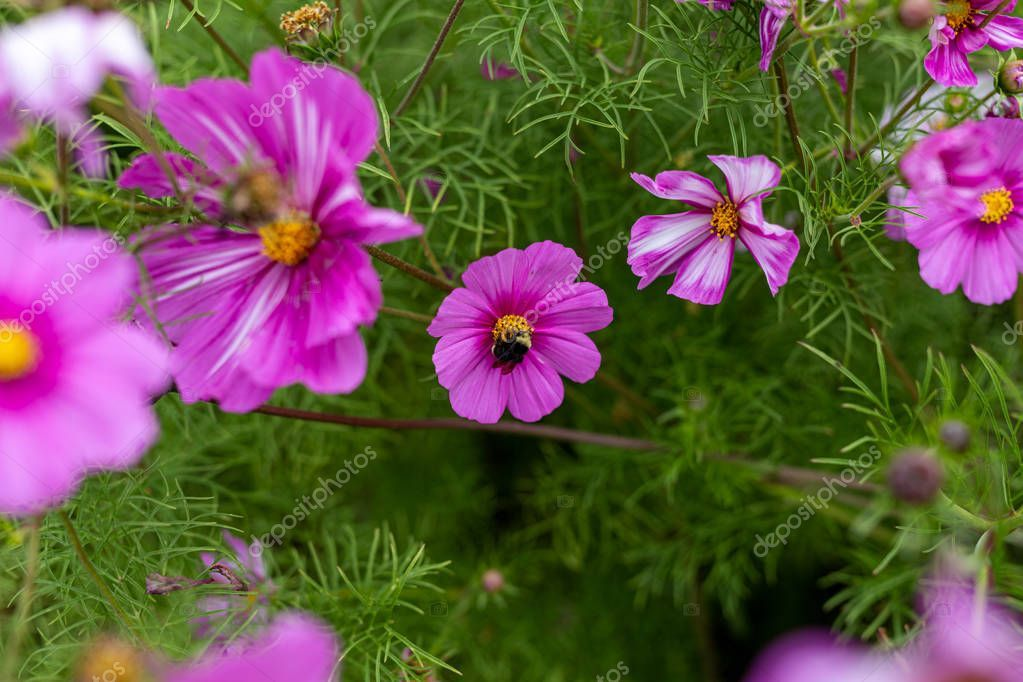 Bees Collect Pollen From Colorful Cosmos Flowers In A California Stock Affiliate Pollen Colorful Be Cosmos Flowers Poster Design Inspiration Flowers