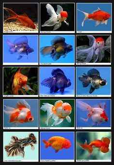 I Have An Odd Obsession With Goldfish Aquariums