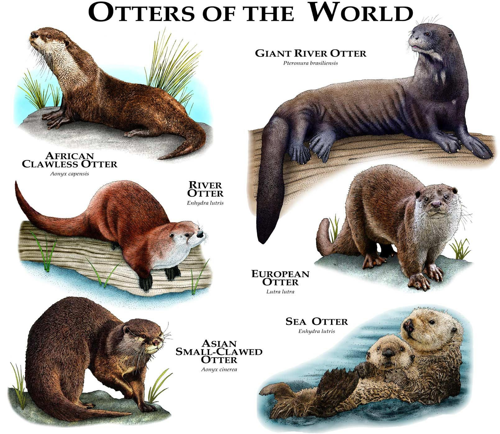 Otters of the World Poster Print Animals, Otters, Cute