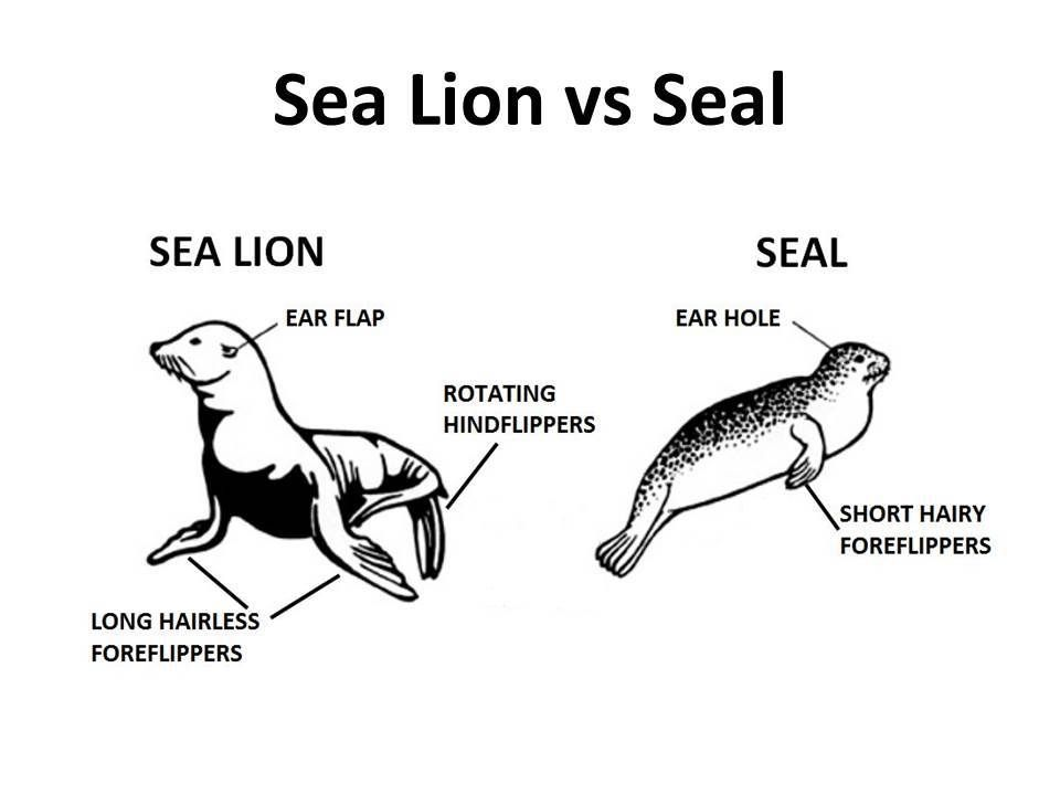 both seals and sea lions together with the walrus are pinnipeds rh pinterest com