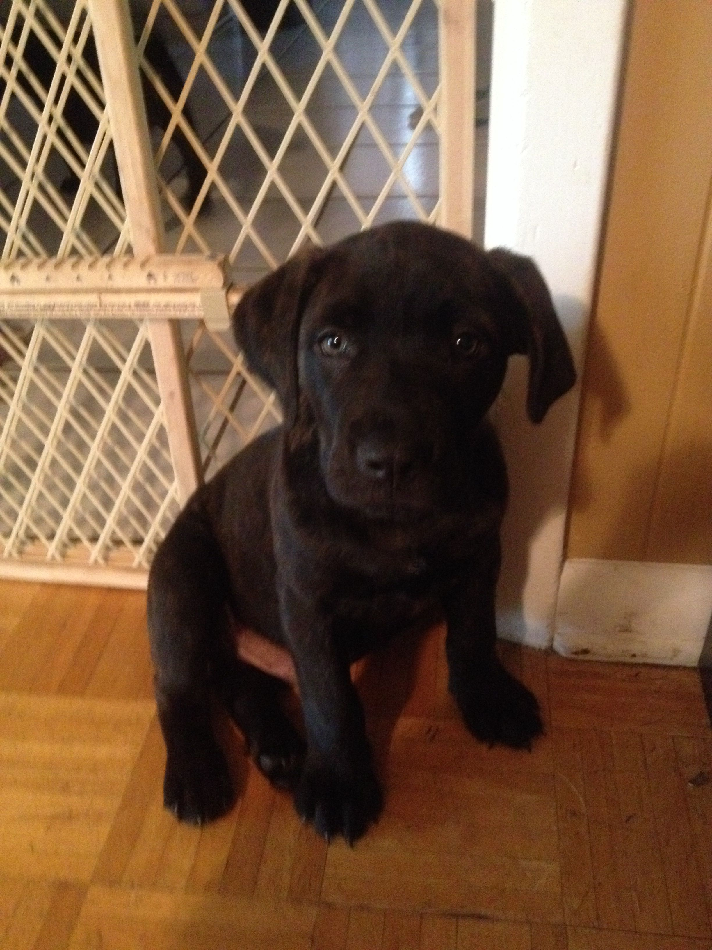 Brindle Bull Mastiff Mixed With A Black Lab This Is My 3 Month