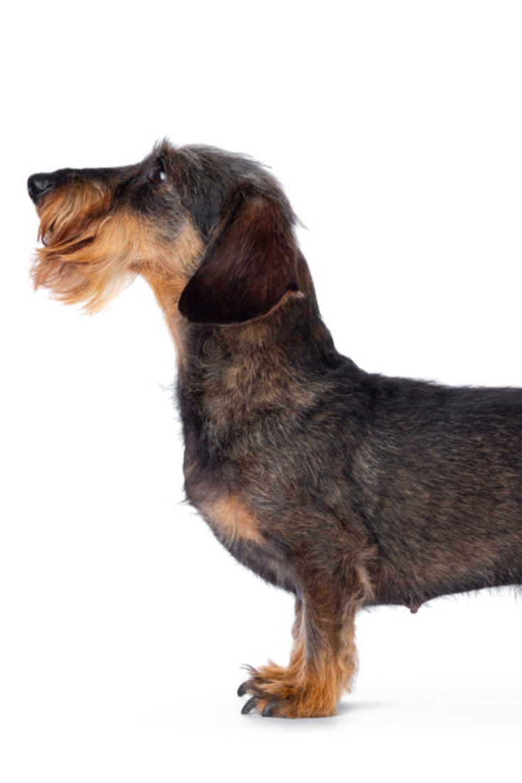 Sweet Senior Boar Mini Wirehair Dachshund Dog Standing Side Ways Looking Forward In Show Position In 2020 Dachshund Dog Dogs Dachshund Love