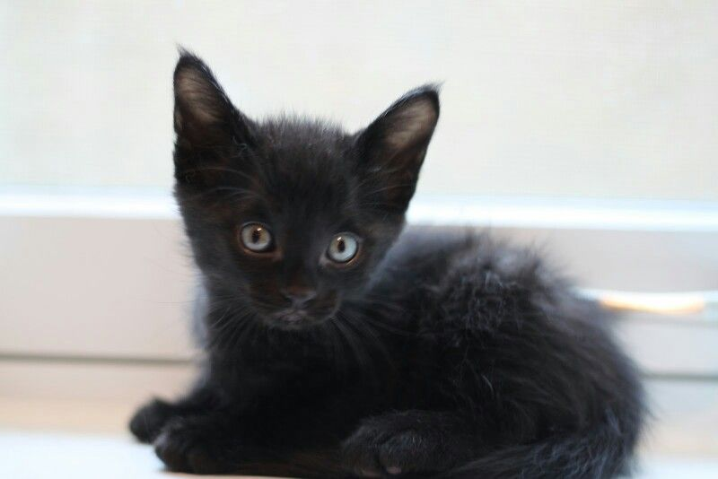 Cute little black kitten