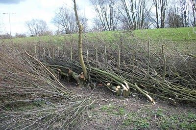 A Bodger's Blog: Hedge Laying