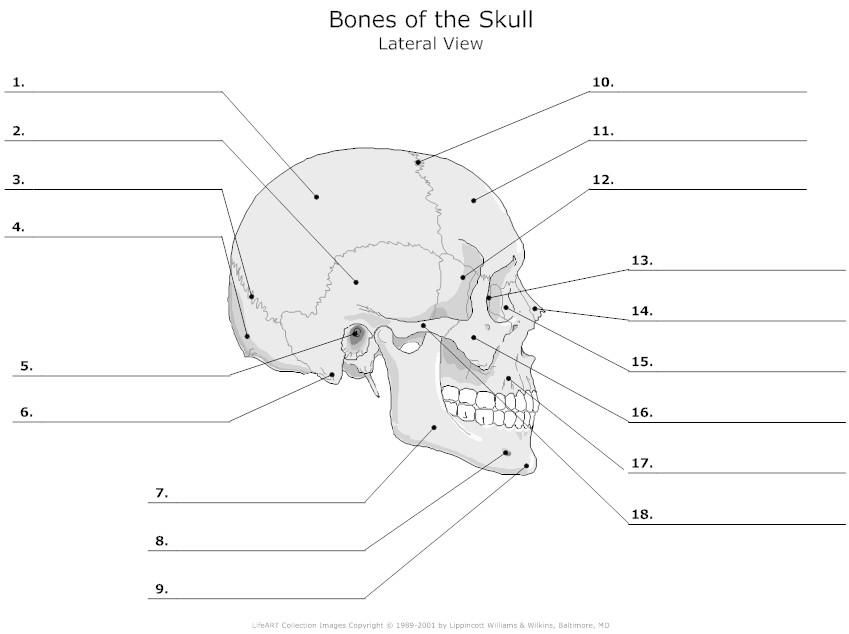 Unlabeled Skeleton Print Out Human Skull Diagram Unlabeled