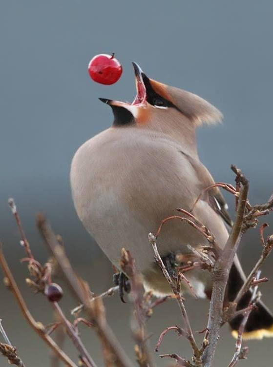 Elegant Bohemian Waxwing (Bombycilla garrulus) snatching a red berry.