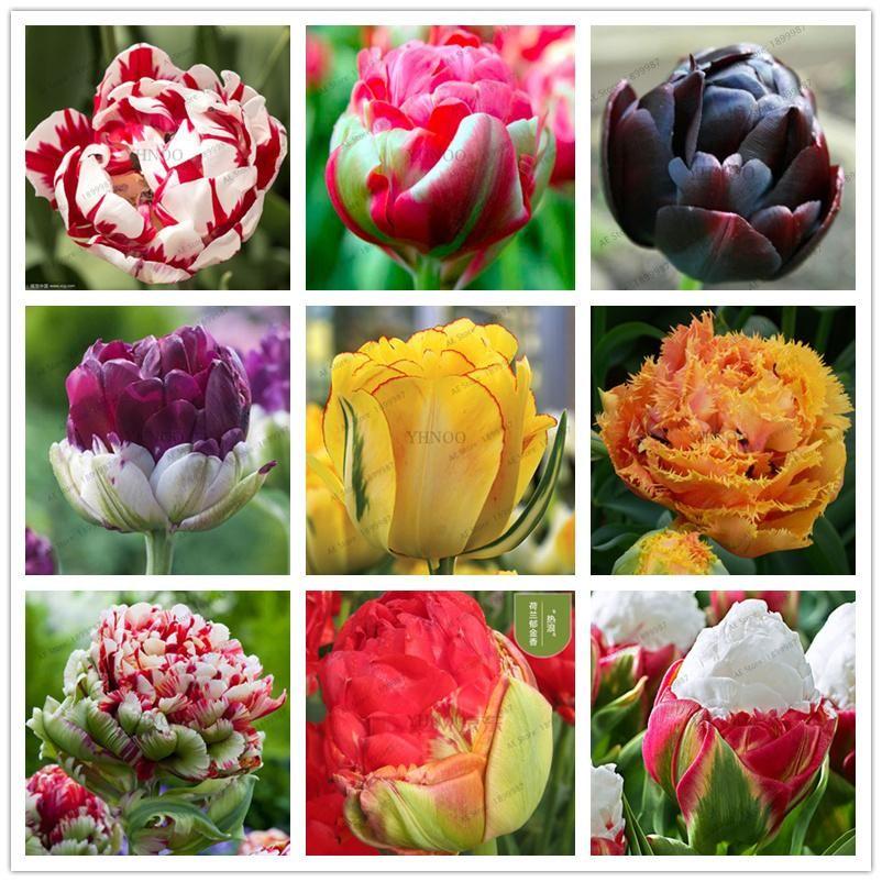 5 Pcs Ture Double Tulip Bulbs Not Tulip Seeds Bonsai Flower