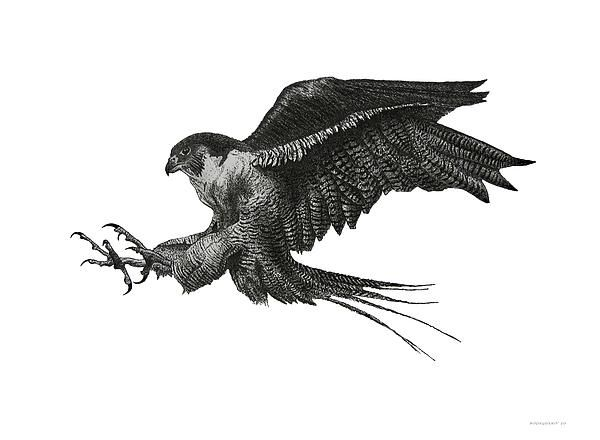 Peregrine Falcon Bird Drawings for Sale