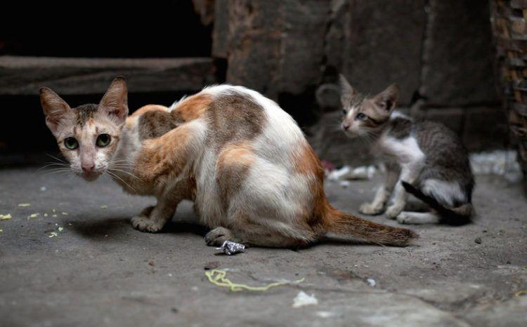 How Often Do Cats Need Rabies Shots Feral Cats Animals Humane Society