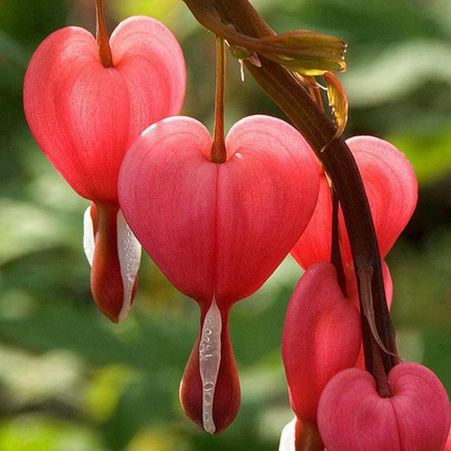 Staying On Komakusa Unusual Flowers Wonderful Flowers Bleeding Heart Flower