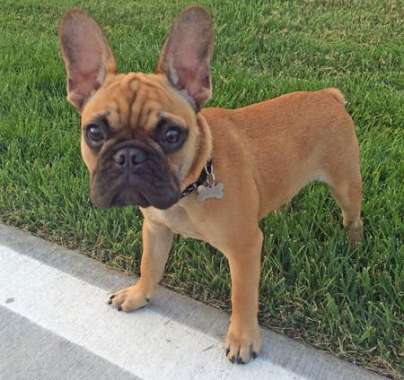 Oakley the French Bulldog Pictures 1017647