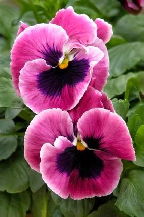 Pink Pansy Beautiful Flowers Flower Seeds Amazing Flowers