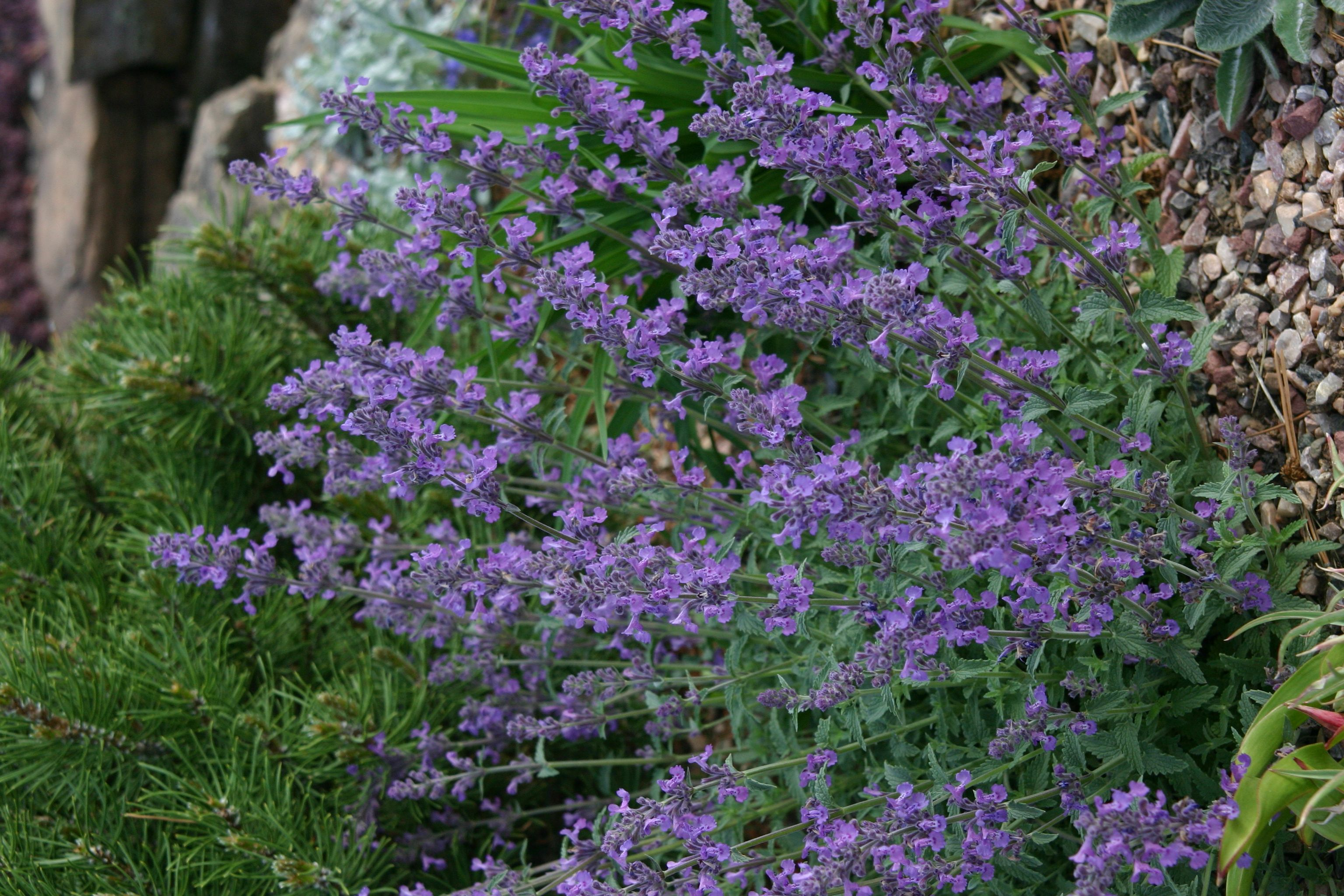 Little Trudy catmint, Nepeta Psfike moderate to low water