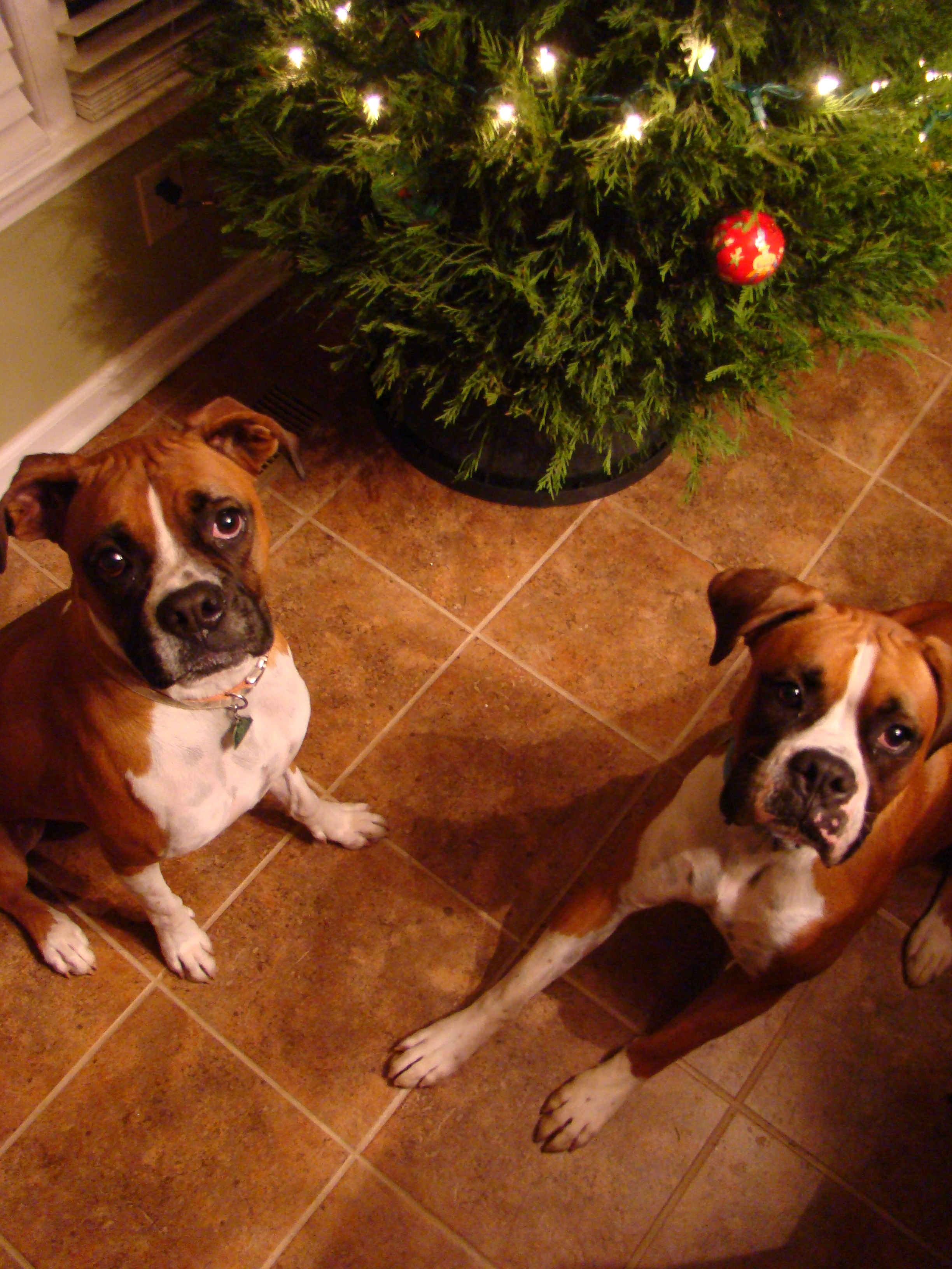 Merry Christmas Boxer Puppies Puppy Love Pup